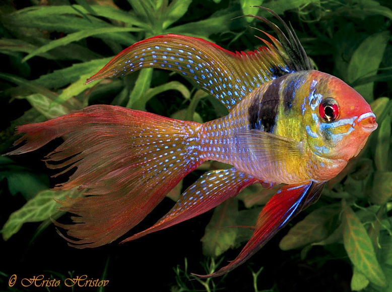 Watch moreover Astronotus Ocellatus also Hummingbirds And Flowers Painting together with Iguana also Top 10 Fish You Should Never Buy For Your Aquarium. on albino oscar fish